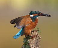 Kungsfiskare Alcedoatthis Arkivfoton