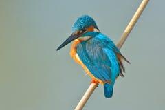 Kungsfiskare - alcedoatthis Arkivfoton