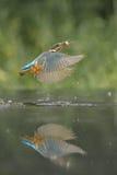 Kungsfiskare med rovet arkivbild