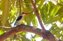 Kungsfiskare på ett mangoträd arkivfoton
