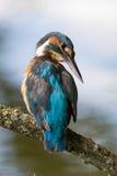 Kungsfiskare som ansar och ser över hennes skuldra Fotografering för Bildbyråer