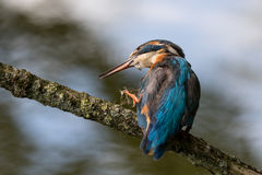 Kungsfiskare som cratching hennes näbb Royaltyfri Bild