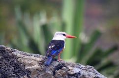 Kungsfiskarefågel fotografering för bildbyråer