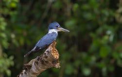 Kungsfiskarefågel, Costa Rica löst liv royaltyfri fotografi