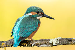 Kungsfiskarefågel som putsar på en filial Fotografering för Bildbyråer