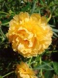 Kunnaituensaibloemen Royalty-vrije Stock Fotografie