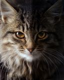Kunst der Blick einer Wildkatze; Stockbilder