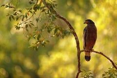 Kunstansicht der Natur Schlangenweihe, Spilornis-cheela Lankan Adler Sri, gehockt auf der Stammwaldumwelt, vor suchend Stockfotografie