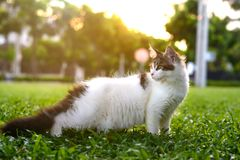 Kunstartporträt der schwarz-weißen Katze zurück stehend und schauend Lizenzfreie Stockfotos