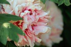 Kunstfotografie van bloeiende pioen met kleurrijke geweven achtergrond stock foto