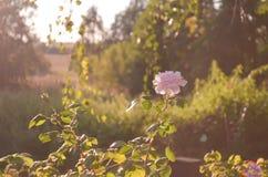 Kunstfotografie Vernietigde rozen Langzaam verdwenen rozen en droog gras op een houten oppervlakte De onscherpe achtergrond van h stock afbeelding