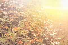 Kunstglanzpunkt; Gänseblümchenfeld blüht natürlichen Hintergrund, Retro- FI Stockbild