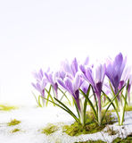 Kunstkrokusblumen im Schnee Tauwetter Stockfotografie