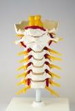 Kunstmatig menselijk cervicaal stekelmodel Stock Foto