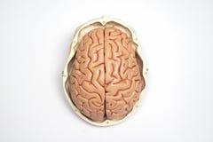 Kunstmatig menselijk hersenen en schedelmodel Stock Foto