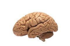 Kunstmatig menselijk hersenen model, linker zijaanzicht Royalty-vrije Stock Afbeelding