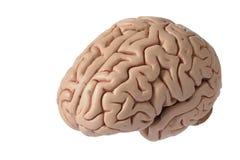 Kunstmatig menselijk hersenenmodel Stock Fotografie