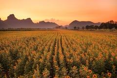 Kunstmatig Zonnebloemengebied op de lentedraden bij zonsondergang Stock Fotografie