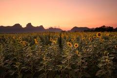 Kunstmatig Zonnebloemengebied op de lentedraden bij zonsondergang Stock Foto