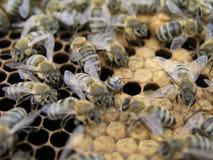 Kunstmatige inseminatie van de bijen in de bijenstal van imker stock afbeelding
