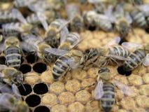 Kunstmatige inseminatie van de bijen in de bijenstal van imker stock afbeeldingen