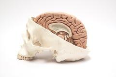 Kunstmatige menselijke hersenen en schedelmodellen Royalty-vrije Stock Fotografie