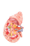 Kunstmatige model menselijke nierdwarsdoorsnede binnen Royalty-vrije Stock Foto's