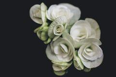 Kunstschwarzhintergrund der weißen Rosen Lizenzfreies Stockbild