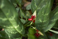 Kunth de nitidum d'Aglaonema photos stock