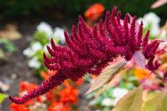 Kuntze för CelosiaArgentea L CV Tvåårig växt, rosa rak, röd enkel röd liten för blommaknoppar slitstark prydnad för stammar som ä arkivbild