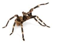 kuper meksykańska czerwona tarantula zdjęcie stock