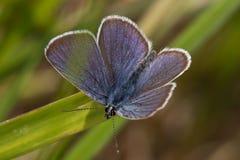 Kupfer-Schmetterling lizenzfreies stockbild