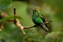Kupferartig-köpfiger Smaragd - Elvira-cupreiceps kleiner Kolibri endemisch zu Costa Rica lizenzfreie stockfotos