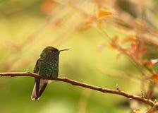 Kupferartig-köpfiger Smaragd von Costa Rica lizenzfreie stockbilder