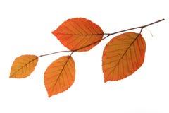 Kupferne Buche (Fagus sylvatica f purpurea) lizenzfreie stockbilder