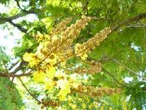 Kupferne Hülsenblume Stockbild