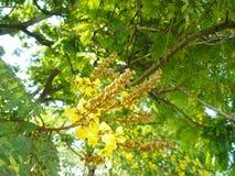 Kupferne Hülsenblume Lizenzfreies Stockbild