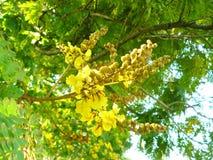 Kupferne Hülsenblume auf dem Baum Lizenzfreies Stockfoto