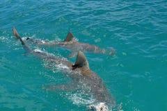 Kupferne Haifische an der Oberfläche lizenzfreies stockbild