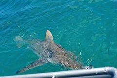 Kupferne Haifische an der Oberfläche lizenzfreie stockbilder