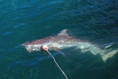 Kupferner Haifisch an der Oberfläche stockfoto