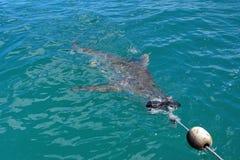 Kupferner Haifisch an der Oberfläche lizenzfreie stockfotografie