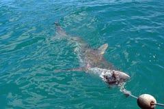 Kupferner Haifisch an der Oberfläche lizenzfreies stockfoto