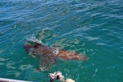 Kupferner Haifisch an der Oberfläche stockfotos