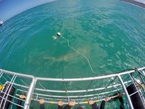 Kupferner Haifisch vor einem Käfig lizenzfreie stockfotografie