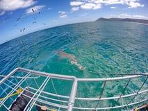 Kupferner Haifisch vor einem Käfig stockfoto