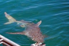 Kupferner Haifisch vor einem Käfig lizenzfreie stockfotos