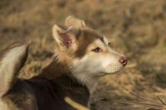 Kupferner roter Schlittenhund Stockfotografie
