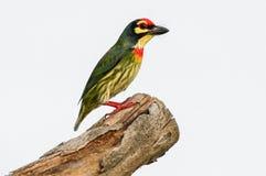 Kupferschmied Barbet, das auf einem Baum steht Lizenzfreie Stockbilder