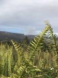 Kupukupu ferns. At Kīlauea Stock Photography